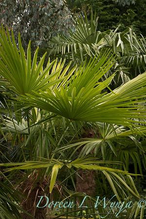 Trachycarpus fortunei_5270