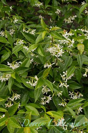 Trachelospermum jasminoides_0303