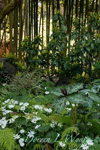 Trillium cuneatum - Anemone nemorosa 'Bracteata Pleniflora' mingling with Adiantum x mairisii_7035