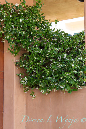 Trachelospermum jasminoides_092