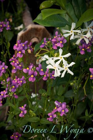 Trachelospermum jasminoides_033