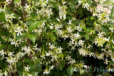 Trachelospermum jasminoides_034