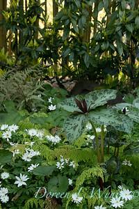 Trillium cuneatum - Anemone nemorosa 'Bracteata Pleniflora' mingling with Adiantum x mairisii_7039