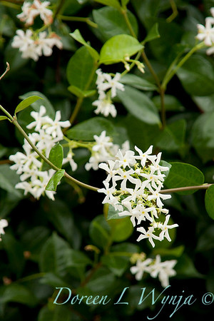 Trachelospermum jasminoides_041
