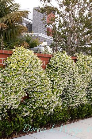 Trachelospermum jasminoides_2118