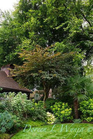 Trachycarpus fortunei - Cercis landscape_5202