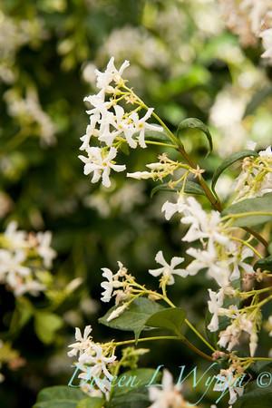 Trachelospermum jasminoides_032