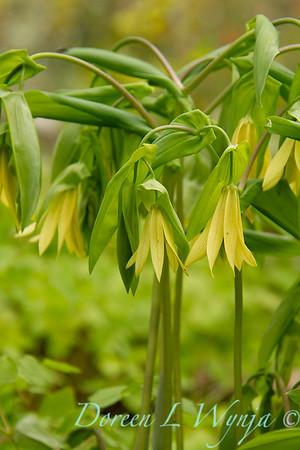 Uvularia grandiflora_011