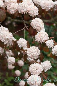 Viburnum plicatum 'Pink Sensation'_1842