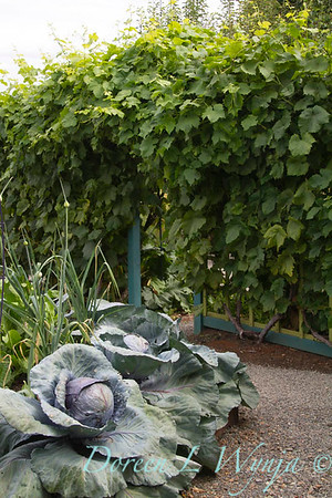 Brassica oleracea var capitata, cabbages growing into the vegetable garden path, grapes trellised to a colorful arbor