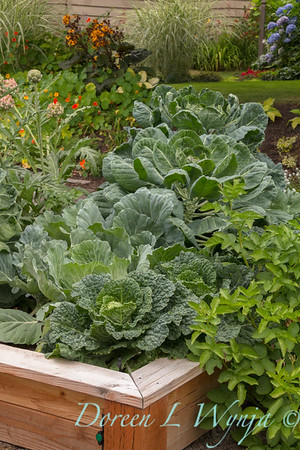 Urban vegetable garden with veggies of cabbage growing in a wooden raised bed