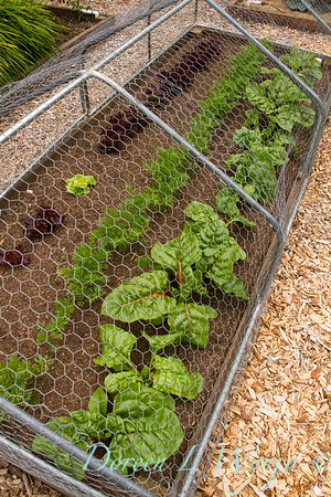 Brassica oleracea var capitala - chard - raised bed deer and rabbit protection - chicken wire on piping - build a chicken wire vegetable garden barrier