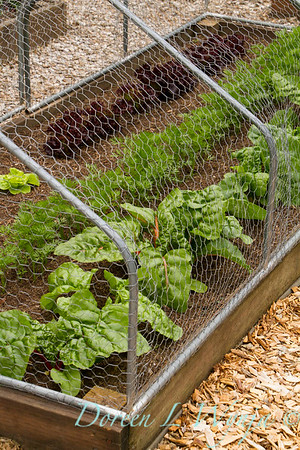 Raised bed vegetable garden with deer and rabbit barrier for their Brassica oleracea var capitala, chard, created with chicken wire on piping; build a chicken wire vegetable garden barrier; keep the deer and rabbits out