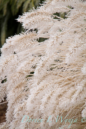 Pennisetum alopecuroides 'Hameln' - frost_9225