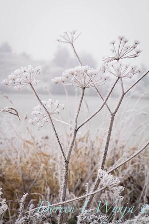 Winter frosted Daucus carota_9492