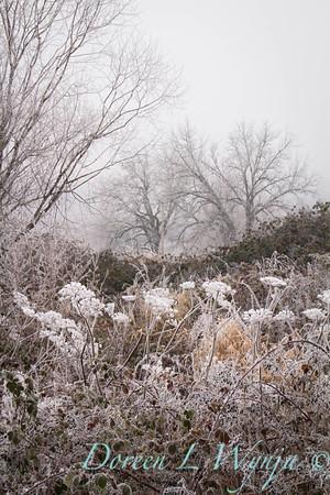 Winter frosted Daucus carota - blackberries_9566