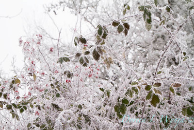 Winter frosted blackberries and red rosehips_9484