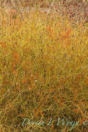 Cornus sericea Flaviramea_046