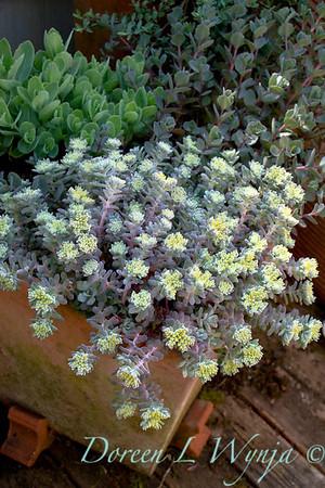 Sedum spathulifolium Cape Blanco in a terra cotta container or used as a succulent ground cover for xeric garden; succulent container gardening