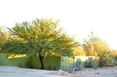 Southwestern desert garden xeriscape; a dry garden in Arizona along a modern chartreuse colored stucco wall lined with blue agaves