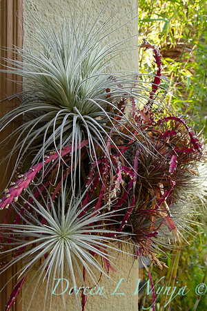Tillandsia gardneri and Tillandsia tectorum with Lepismium cruciforme; wall planter with trailing cactus and air plants; tropical houseplants; creative houseplant container