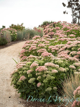Sedum telephium Autumn Joy in a xeriscape, xeric dry garden with a garden path made of crushed gravel