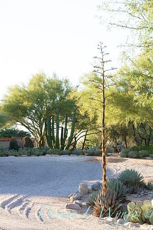 Agave bloom in Southwestern desert garden; a xeriscape dry garden in Arizona