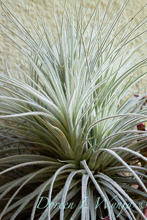 Tillandsia gardneri; air plant; houseplant