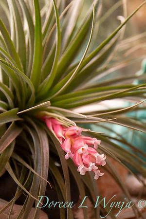 Tillandsia stricta in bloom; air plant; houseplant