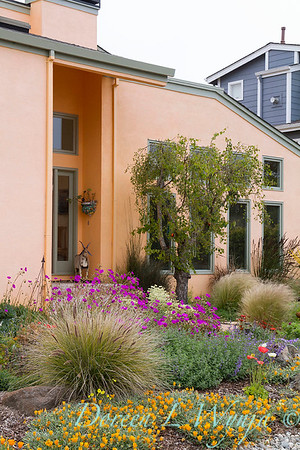 Drought tolerant front yard with contemporary architecture; xeriscape with Cistanthe, Nasella, and Calandrinia; deer resistant plants; Mediterranean landscape garden