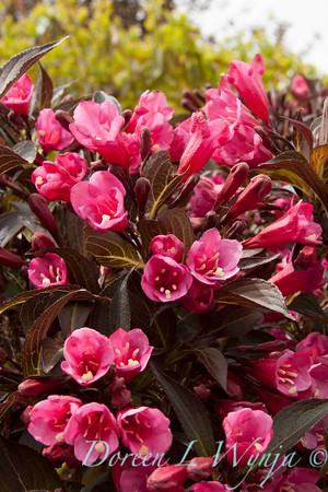 Weigela florida 'Wine and Roses'