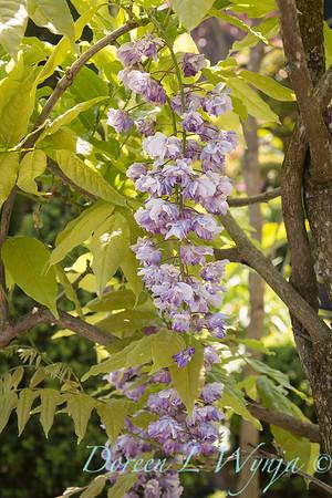 Wisteria floribunda 'Violacea Plena'; double Japanese wisteria 'Black Dragon'