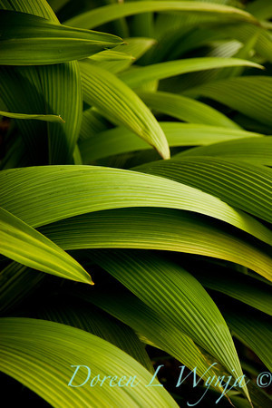 Molineria capitulata: whaleback palm