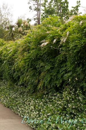 Wisteria floribunda 'Longissima Alba', Abutilon x hybridum 'Albus', Trachelospermum jasminoides in landscape