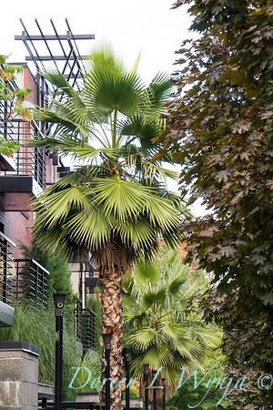 Washingtonia robusta; Mexican fan palm