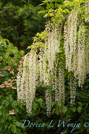 Wisteria floribunda 'Longissima Alba'; Shiro Noda; white Japanese wisteria; 'Issai Perfect'