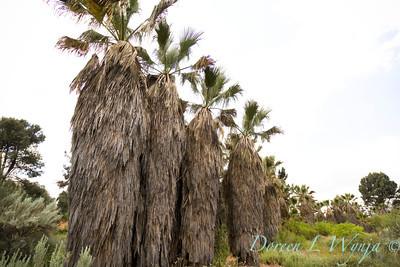 Washingtonia filifera; California fan palm; desert fan palm