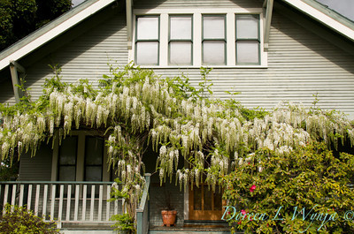 Wisteria floribunda Alba; white Japanese wisteria