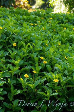 Wedelia trilobata; Sphagneticola trilobata; Singapore daisy