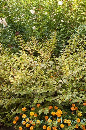 Weigela florida 'Variegata' in a landscape with French marigold