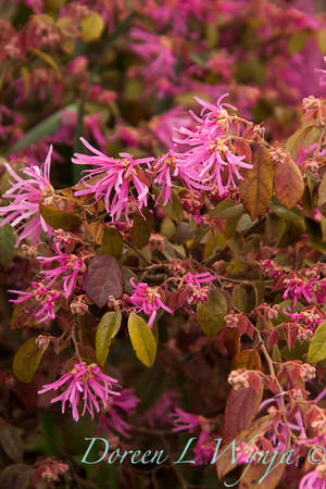 Loropetalum chinense_028