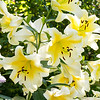 Lilium 'Catherine the Great'_597