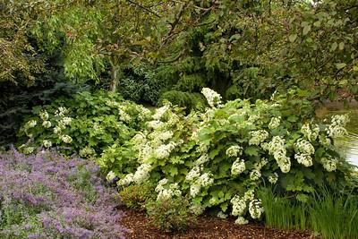 4202 Hydrangea paniculata Ruby_017