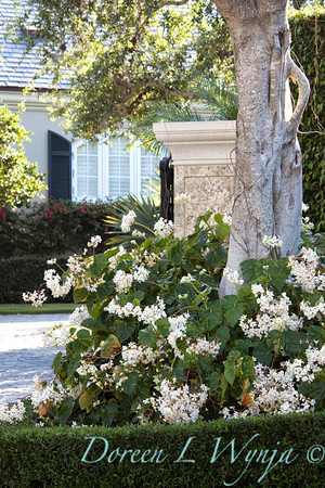 Begonia grandis Alba_004