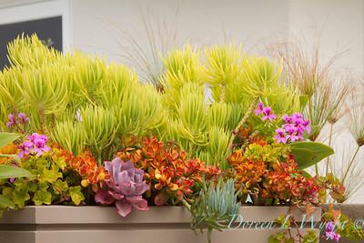 Crassula ovata 'Hummel's Sunset' and Senecio 'Himalaya' succulent container; modern container garden of chartreuse senecio and magenta colored geraniums
