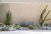 Echinocactus pachanoi - Echinocactus grusonii - Agave - Alluaudia procera_0948