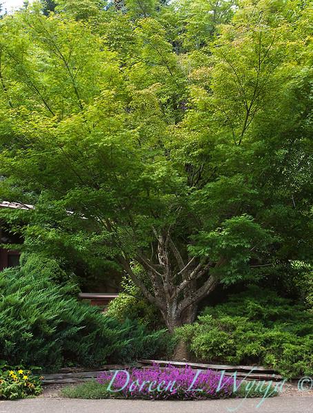 Acer palmatum_040