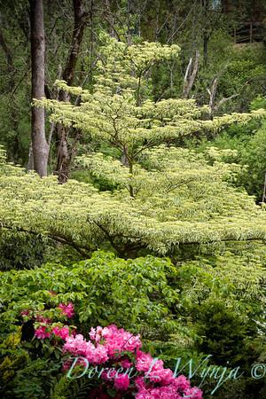 Cornus alternifolia Argentea_005