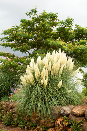 Cortaderia sellowiana Pumila_001_Doreen Wynja