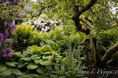 Lush shade garden - Hosta 'Sum and Substance' - Rhododendron - ferns_5589